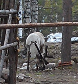 Reindeer at Santa's Workshop Village