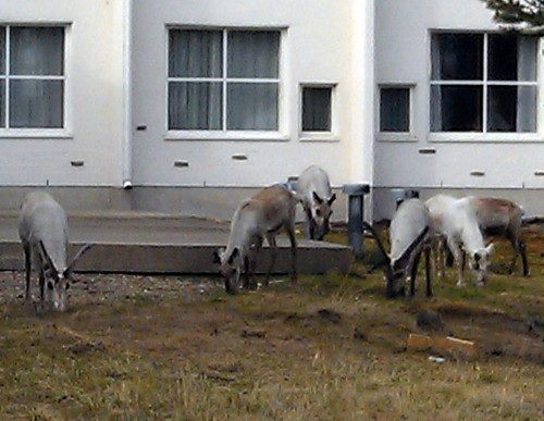 Reindeers outside hotel