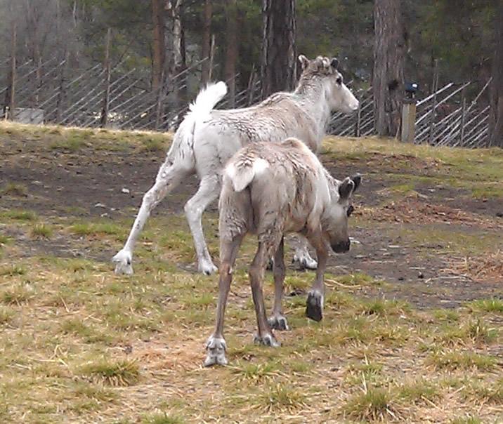 reindeers Sami Park Norway
